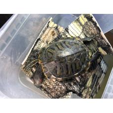 Транспортировка красноухих черепах в зимний период