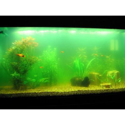 Почему вода в аквариуме зеленеет и как это побороть?