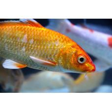 Что делать если рыбы теряют чешую?