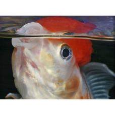 Почему рыбки учащенно дышат?