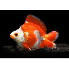 Золотая рыбка руикин красно-белый
