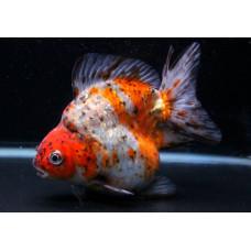 Золотая рыбка риукин ситцевый