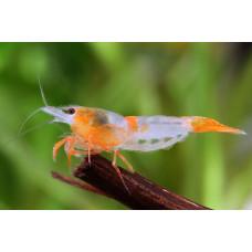 Креветка Рили оранжевая