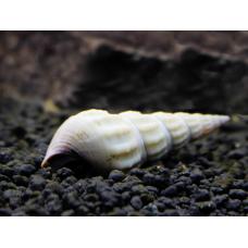 Улитка геркулес альбинос