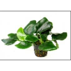 Анубиас нана толстый лист