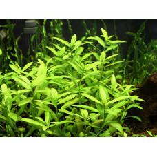 Гигрофила зеленая